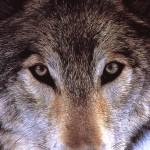 Pack, a werewolf romance novelette