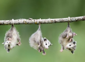 possums3