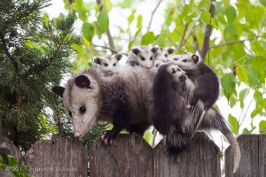 possums5